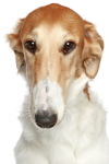 Barzoi auf Hundeversicherungen24.com