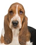 Basset auf Hundeversicherungen24.com