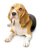 Beagle auf Hundeversicherungen24.com