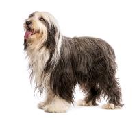 Bearded Collie auf Hundeversicherungen24.com