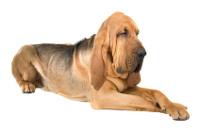 Bloodhound auf Hundeversicherungen24.com