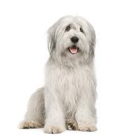 Bobtail auf Hundeversicherungen24.com