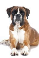 Boxer auf Hundeversicherungen24.com