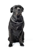 Cane Corso Italiano auf Hundeversicherungen24.com