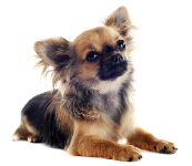 Chihuahua auf Hundeversicherungen24.com