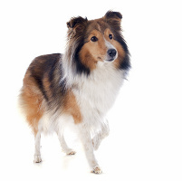 Collie auf Hundeversicherungen24.com