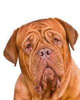 Bordeaux Dogge auf Hundeversicherungen24.com