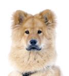 Eurasier auf Hundeversicherungen24.com