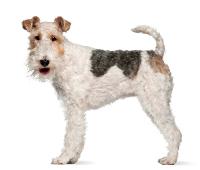 Foxterrier auf Hundeversicherngen24.com