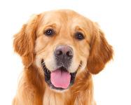 Golden Retriever auf Hundeversicherungen24.com