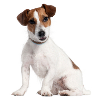 National Dog Show Parson Russell Terrier