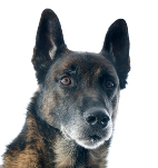 Malinois auf Hundeversicherungen24.com