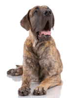 Deutscher Mastiff
