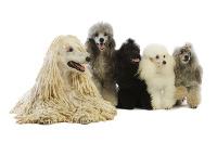 Pudel auf Hundeversicherungen24.com