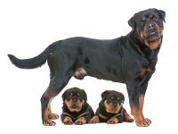 Rottweiler auf Hundeversicherungen24.com