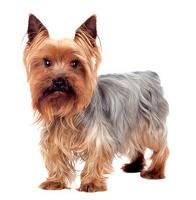 Yorkshire Terrier auf Hundeversicherungen24.com