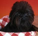 Affenpinscher auf Hundeversicherungen24.com