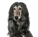 Windhund auf Hundeversicherungen24.com
