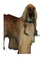 Afghanischer Windhund auf Hundeversicherungen24.com