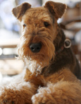 Airedale Terrier auf Hundeversicherungen24.com