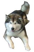 Alaskan Malamute auf Hundeversicherungen24.com