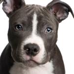 American Staffordshire Terrier auf Hundeversicherungen24.com