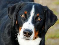 Hunderasse Appenzeller Sennenhund