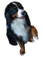 Berner Sennenhund auf Hundeversicherungen24.com