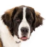 Bernhardiner auf Hundeversicherungen24.com