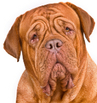 Bordeauxdogge auf Hundeversicherungen24.com