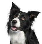 Border Collie auf Hundeversicherungen24.com