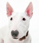 Bullterrier auf Hundeversicherungen24.com