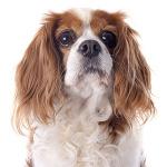 Cavalier King Charles auf Hundeversicherungen24.com