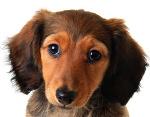 Dackel auf Hundeversicherungen24.com