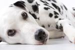 Dalmatiner auf Hundeversicherungen24.com