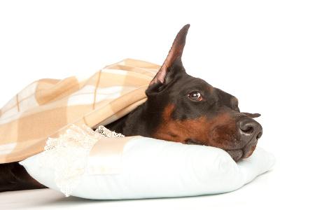 Dobermann Hundeversicherung auf Hundeversicherungen24.com