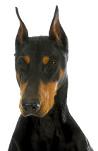 Dobermann auf Hundeversicherungen24.com