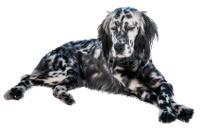 English Setter auf Hundeversicherungen24.com