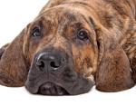 Fila Brasileiro auf Hundeversicherungen24.com