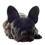 Französische Bulldogge auf Hundeversicherungen24.com