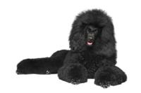 Großpudel auf Hundeversicherungen24.com