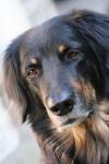 Hovawart auf Hundeversicherungen24.com