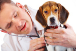 Hundeversicherung Beagle