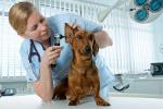 Hundeversicherung Dackel