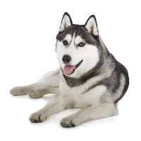 Husky auf Hundeversicherungen24.com