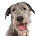 Irischer Wolfshund auf Hundeversicherungen24.com