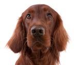 Irish Setter auf Hundeversicherungen24.com