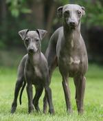 Italienisches Windspiel auf Hundeversicherungen24.com