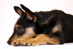 Jagdterrier auf Hundeversicherungen24.com