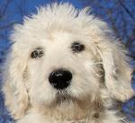 Labradoodle auf Hundeversicherungen24.com